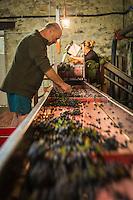 France, Aude (11), Talairan: Jean-Pierre Mazard , Domaine SERRES-MAZARD , trie sa  vendanges à l'arrivée à la cave  //France, Aude, Talairan, Jean-Pierre Mazard , Domaine SERRES-MAZARD ,sorts its harvest on arrival at the winery  -  (Auto N°: 2014-171)