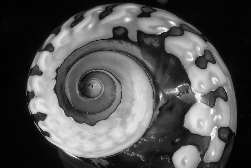 Turbo Semanticus sea shell close up.