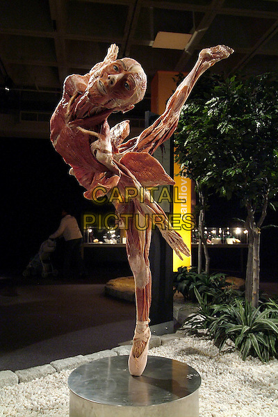 German scientist Dr. Gunther von Hagens brings his first-of-its-kind exhibit, BODY WORLDS 2: The Anatomical Exhibition of Real Human Bodies to the Great Lakes Science Center. .Cleveland, OH, USA.Photo by Devin Simmons/AdMedia..April 9th, 2005.The exhibition features more than 200 authentic human and animal specimens, including organs and transparent body slices that have been preserved through the process of plastination. This technology, invented in 1977 by Dr. Gunther von Hagens, replaces bodily fluids and fat with reactive polymers. Plastinated specimens are dry and odorless; they retain their natural surface and are identical with their state prior to preservation down to the microscopic level. To date, 16 million people have viewed Body Worlds and/or Body Worlds 2. Body Worlds 2 aims to educate the public about the inner workings of the human body and to show the effects of poor health, good health & lifestyle choices. It is also presented in the hopes that it will stimulate curiosity about the science of anatomy and physiology..body internal organs flesh muscle.www.capitalpictures.com.sales@capitalpictures.com.© Capital Pictures..