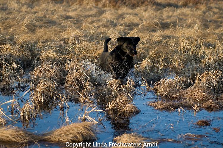 Black Labrador retriever (AKC) running in a swamp