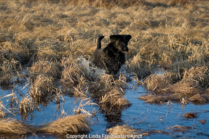Black Labrador retriever (AKC) running in a swamp