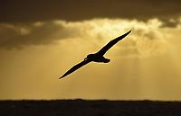 Chatham Island Albatross - Thalassarche eremita