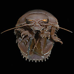 Deep-sea Giant Isopod (Bathynomus giganteus)