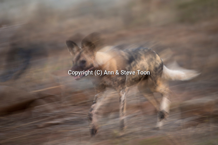 African wild dog (Lycaon pictus), Zimanga private game reserve, KwaZulu-Natal, South Africa, June 2017