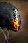 Golden--neck Cassowary (Casuarius unappendiculatus), Bali Bird Park.