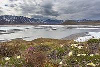 Mountain aven, Arctic National Wildlife Refuge, Brooks Range, Arctic Alaska.