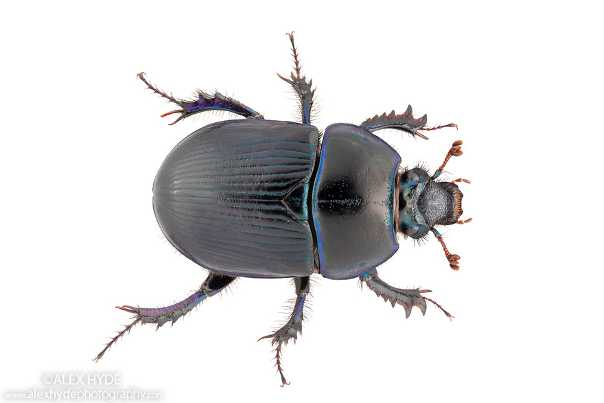 Dor Beetle (Geotrupes stercorarius) Peak District National Park, Derbyshire, UK. July. Focus stacked image, photographed on a white background in mobile feild studio.