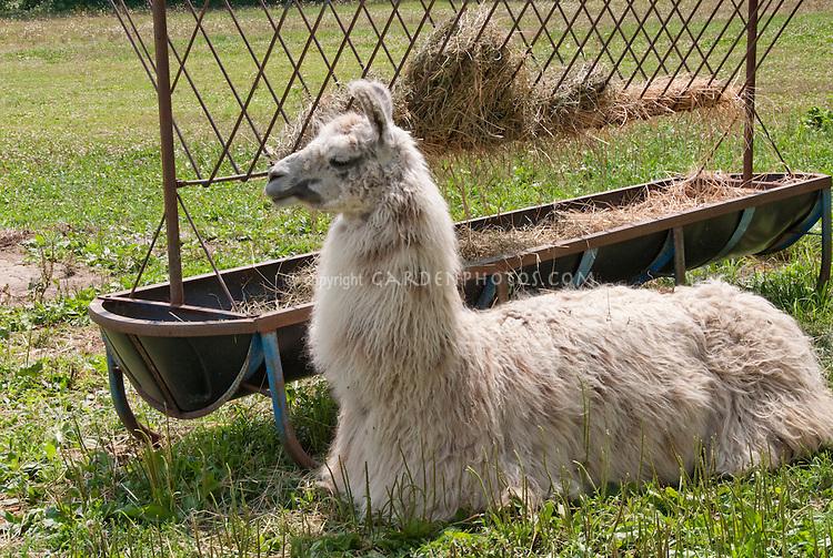 Llama mammal animal with feeding trough