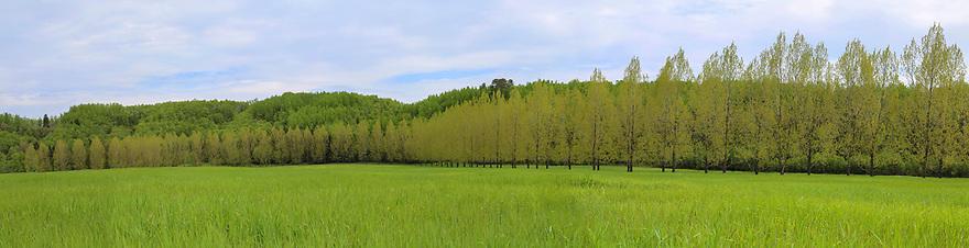 Allee of Carolina Poplar trees.
