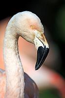 Greater Flamingo (Phoenicopterus roseus), captive