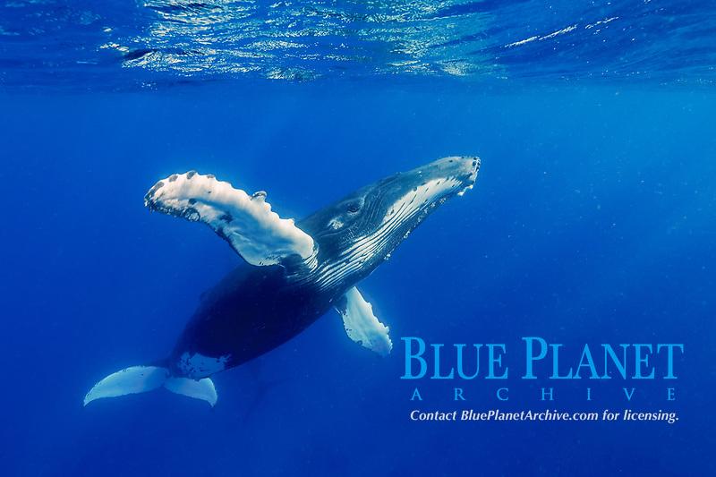 humpback whale, Megaptera novaeangliae, Kingdom of Tonga, South Pacific Ocean