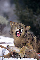 694926385 a captive gray wolf  canis lupus lays in a snowbank defending a deer carcass by snarling at an intruder and baring its fangs in central montana