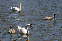 "Pictured: The killer swan, named by locals ""Mr Nasty"" (TOP) with his family in the pond by Pembroke Castle, west Wales, UK. Sunday 08 July 2018<br /> Re: A vicious killer swan is prowling around Pembroke, determined to see off any threat to his territory by ruthlessly drowning his victims.<br /> So far, he has killed 10 other swans, though many more have been saved from his attacks.<br /> Dubbed by locals ""Mr Nasty""  lives on the Castle Pond by Pembroke Castle. <br /> Bird sanctuary worker Maria Evans says she has watched him at work, drowning other swans, breaking their feet or pushing them over a sluice.<br /> In 2010, another killer swan dubbed ""Hannibal"" had his wings clipped after attacking other swans in the same pond."