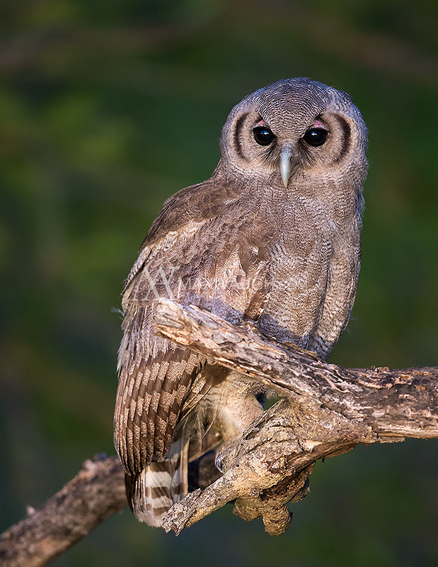 A juvenile Verreaux's eagle-owl perched nicely in the pre-dawn light in Kruger.