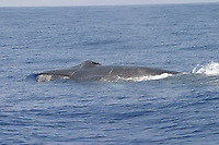 fin whale, Balaenoptera physalus, Azores, Portugal, North Atlantic