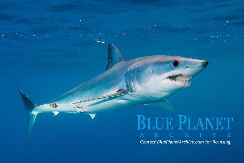 shortfin mako shark, Isurus oxyrinchus, San Diego, California, USA, Pacific Ocean