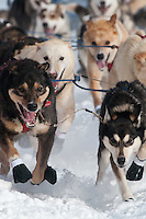 Musher # 68 Jeff Holt's lead dogs at the Restart of the 2009 Iditarod in Willow Alaska
