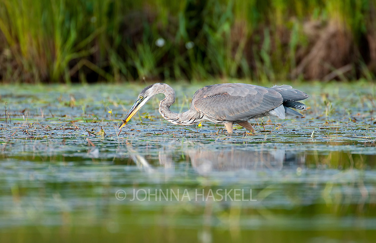 Blue Heron fishing in the marshy grasslands with fish in beak.