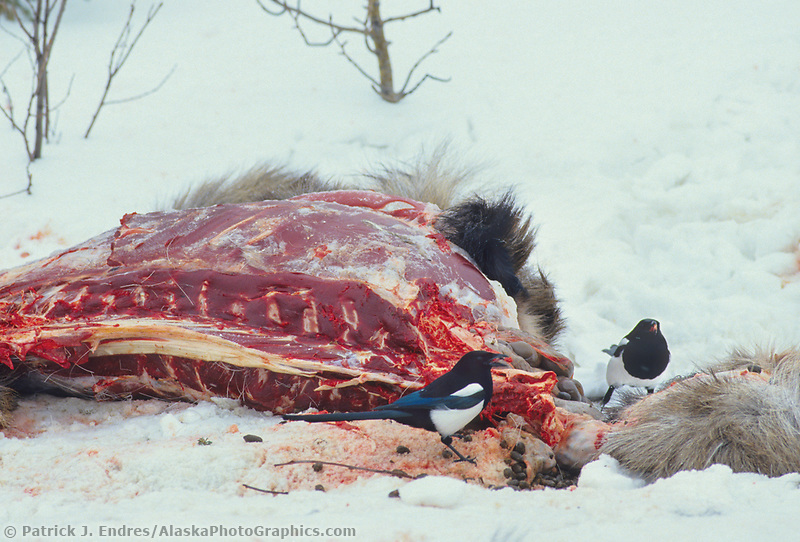 Black-billed magpies feed on moose carcass, interior Alaska
