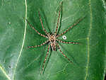 Wolf Spider, Lycosidae, Belize, at night, Central America