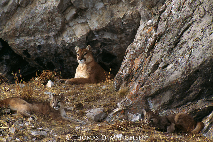 Mountain Lion and cubs lying outside den in the National Elk Refuge in Jackson Hole, WY