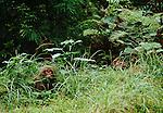 Yakushima macaque, Yakushima Island, Japan