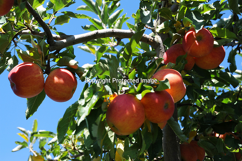 Apple Tree with Apples at the Orchard, New Hampshire USA