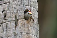 Golden-fronted Woodpecker, Melanerpes aurifrons,male at nesting cavity in palm tree, Brownsville, Rio Grande Valley, Texas, USA