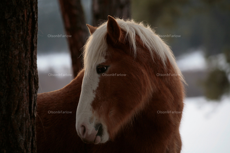 The faces of the wild horses in the Ochoco National Forest are unique.  Wild Horses struggle to find food in the snow packed mountains of eastern Oregon. About 60 mustangs that are remnants of Indian and settlers horses roam the Big Summit Horse Territory.