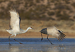 Pair of Sandhill Cranes (Grus canaadensis) taking off from icy lake, New Mexico, USA