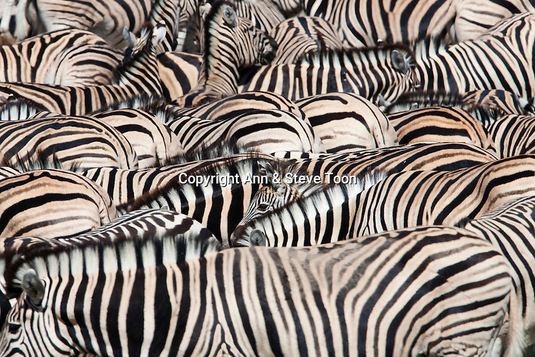 Plains zebra, Equus burchelli, foal lost in crowd at waterhole, Etosha National Park, Namibia, Africa