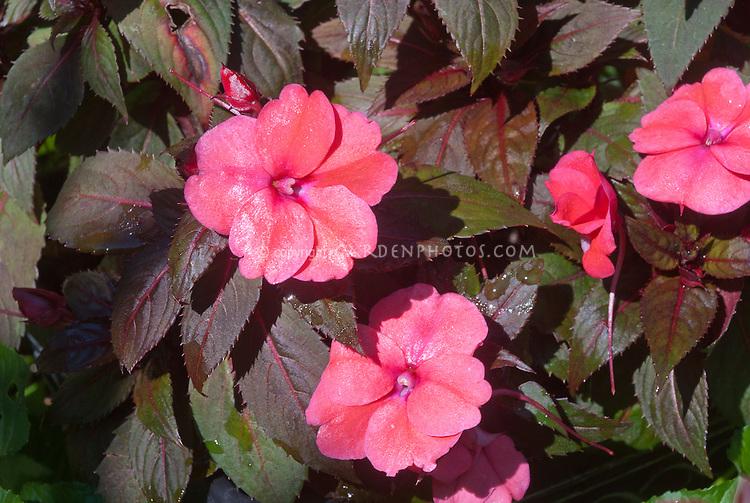 Impatiens Harmony Deep Salmon, New Guinea sun tolerant annual plant