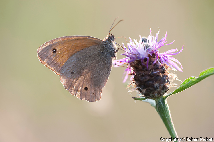 Meadow Brown Butterfly, Maniola jurtina, Brasov, Transylvania, Romania, damaged wings, backlight, feeding on thistle flower