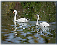Pair of  Mute Swans in the water with reflections visible