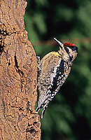 Yellow-bellied Sapsucker, Sphyrapicus varius, female, Burlington, North Carolina, USA
