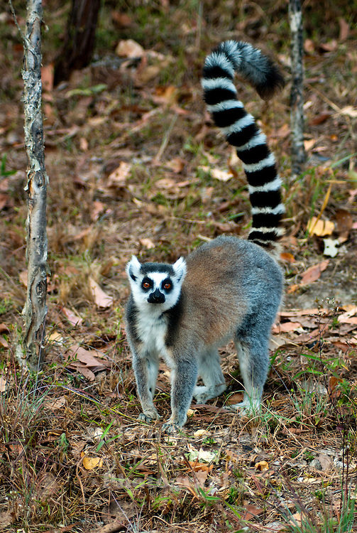 The Ring-tailed Lemur (Lemur catta) is a large strepsirrhine primate and the most recognized lemur due to its long, black and white ringed tail. It belongs to Lemuridae, one of four lemur families. It is the only member of the Lemur genus. Like all lemurs it is endemic to the island of Madagascar. Known locally in Malagasy as hira or maky (spelled maki in French), it inhabits gallery forests to spiny scrub in the southern regions of the island. It is omnivorous and the most terrestrial of lemurs. The animal is diurnal, being active exclusively in daylight hours.