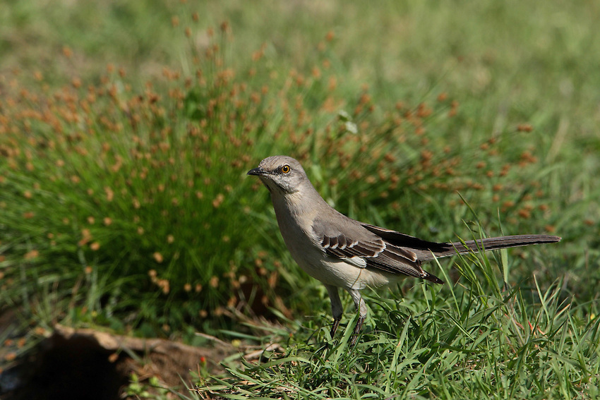 The Mockingbird's very well known for its vast repertoire. <br />