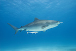 Tiger Beach, Grand Bahama Island, Bahamas; a large, pregnant tiger shark swimming up in the water column over the sandy bottom at Tiger Beach