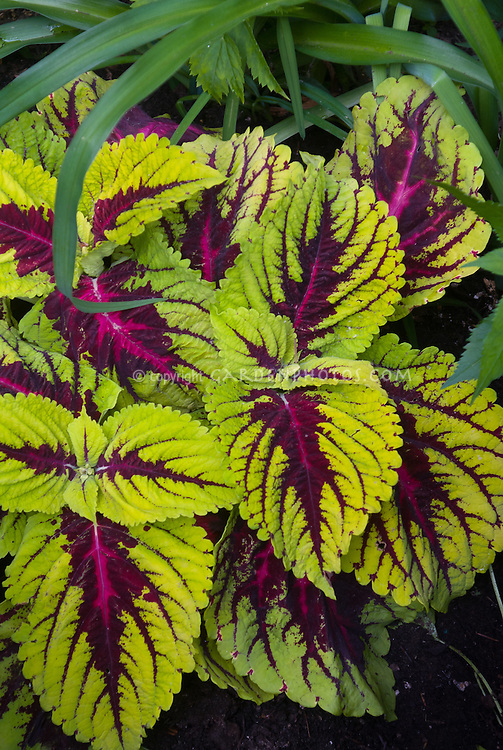 Coleus Kong Solenostemon, a large leaf annual foliage plant in green and red variegated colors