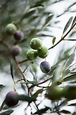 USA, California, Sonoma, olives grow on a tree near downtown Sonoma