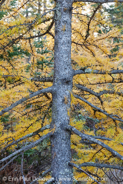 Tamarack Larch - (Larix laricina) tree during the autumn months along the Kancamagus Highway in the White Mountains, New Hampshire USA.