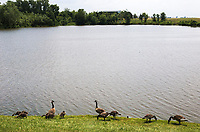 NWA Democrat-Gazette/CHARLIE KAIJO A flock of Geese forage, Thursday, June 7, 2018 at Lake Bentonville north of the Bentonville Airport in Bentonville.