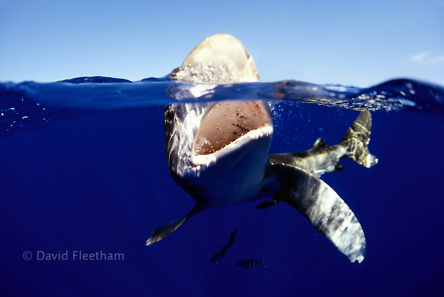"A surface, ""down the mouth"" view of an oceanic whitetip shark, Carcharhinus longimanus, jaw open, biting at the surface."