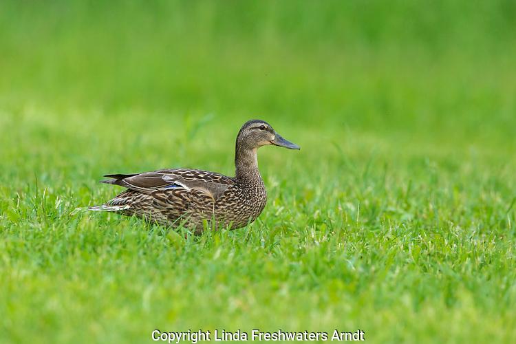 Hen Mallard walking in a summer field.