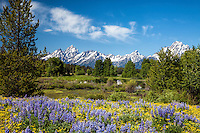 Field of Lupine, Grand Teton National Park