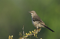 Northern Mockingbird, Mimus polyglottos, adult, Starr County, Rio Grande Valley, Texas, USA, March 2002