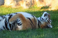 Stock image - Siberian tiger relaxing lying down on grass looking towards sky in Paphos animal park, Cyprus.<br /> <br /> (For editorial use only)