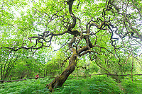 France, Marne (51), Parc naturel régional de la Montagne de Reims, Verzy, les faux de Verzy, ici un chêne tortillard plus rare que les hêtres