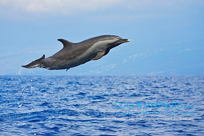 Pantropical Spotted Dolphin, Stenella attenuata, leaping, off Kona, Big Island, Hawaii, Pacific Ocean.