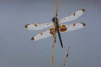 Calico Pennant (Celithemis elisa), covered in dew, Howell Woods Environmental Learning Center, Four Oaks, North Carolina, USA